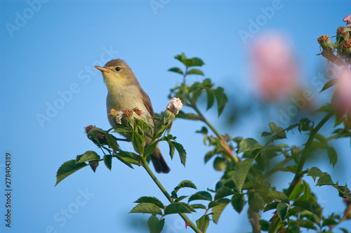Fotografie, Obraz Melodious warbler - Hippolais polyglotta - perched on a branch