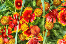 Indian Blanket Native To Northern Mexico, Daisy Like Flowers With Bright Red And Yellow Colors In A Summer Meadow