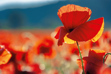 Red Poppies In The Field In Ev...