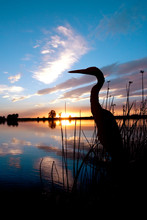 Silhouette Of An Egret In Fron...