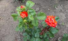 A Beautiful Red Wild Rose Grow...