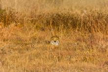 Single Cheetah Hiding In Grass