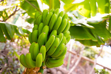 Close-Up Of Fresh Organic Green Banana's Bunch