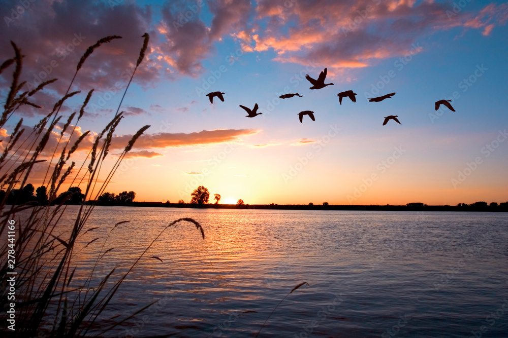 Fotografia Geese flying over a beautiful sunset.