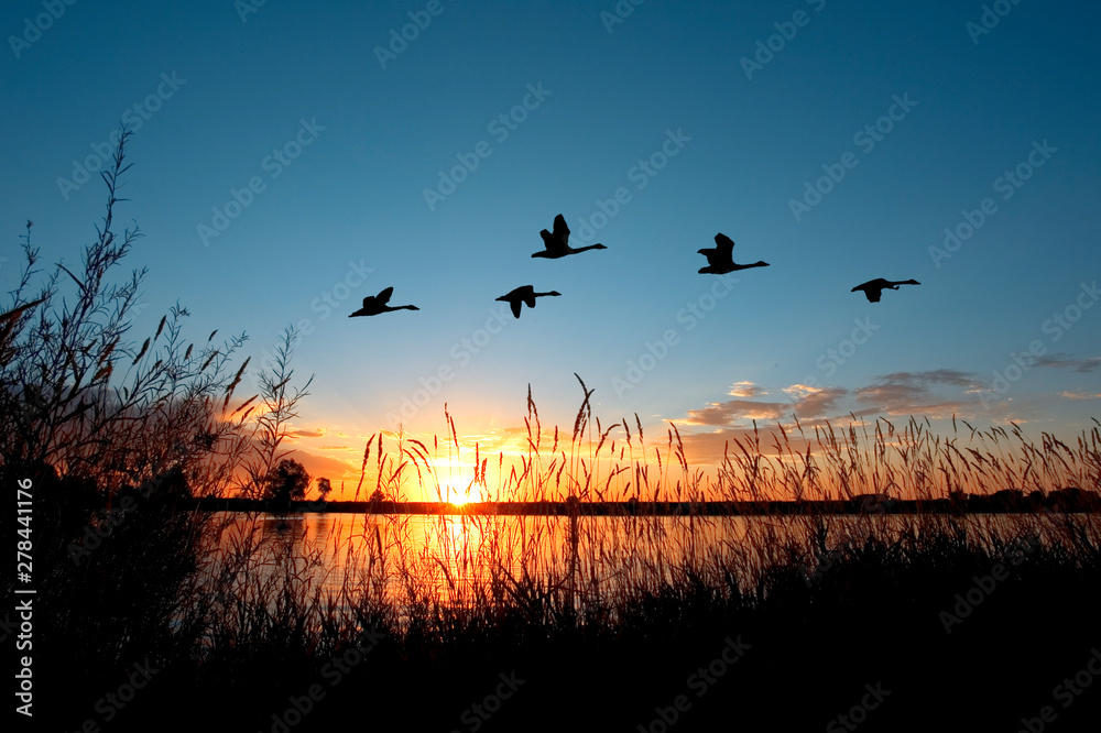 Fototapety, obrazy: Geese flying over a beautiful sunset.