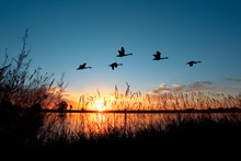 Geese Flying Over A Beautiful ...