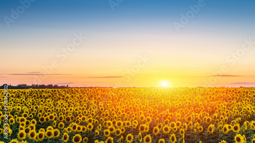 Fototapety, obrazy: Panorama of field of blooming sunflowers at sunset sky background, copy space