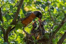 Baby Birds With Orange Beak Si...