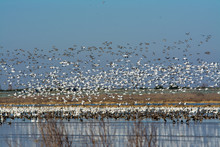 Massive Flock Of Snow Geese Flying Over Flooded Field.