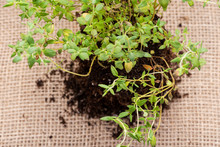 Organic Thyme Plant With Roots In Fertilized Soil  Isolated On Natural Burlap Background. Thymus Vulgaris In The Mint Family Lamiaceae.