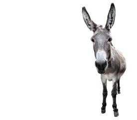 Magarac pune duljine izoliran na bijelom. Smiješni sivi magarac koji stoji ispred kamere. Domaće životinje.