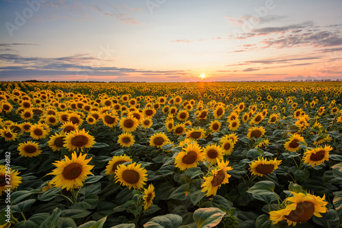 In de dag Zonnebloem Field of blooming sunflowers at sunset