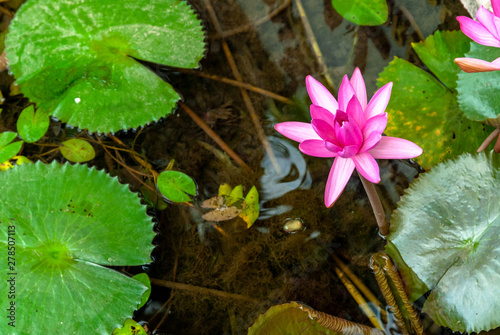 Photo Flower Nympheas, lilac-colored, from the Nymphaeaceae family, in lake, Siem Reap