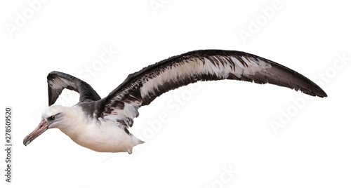 Fototapeta albatross bird isolated on white background. with clipping path