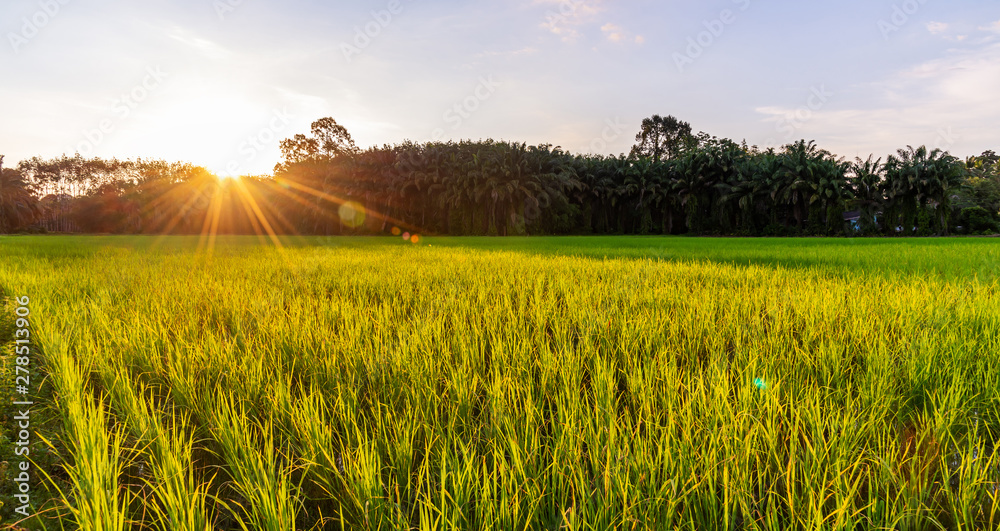 Fototapety, obrazy: Rice field panoramic with sunrise or sunset and sunbeam flare
