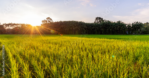 Photo  Rice field panoramic with sunrise or sunset and sunbeam flare