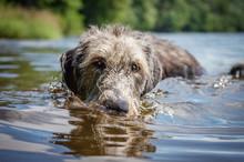 Irish Wolfhound. Shot Of The H...