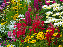 A Colourful Flower Border With Lysimachia, Lupins, Phlox, Coreopsis And Leucanthemums In Close Up