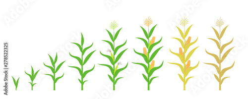 Fotografia Cycle of growth of a corn. Isolated corn on white background