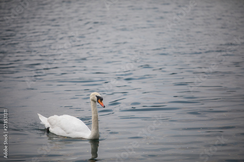 Foto auf Acrylglas Schwan Swan swimming on a pond