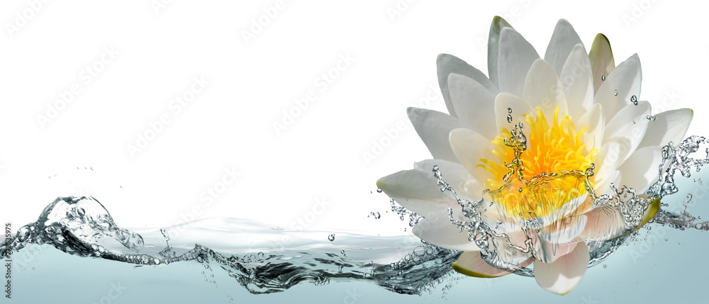 Fototapety, obrazy: Blooming lotus flower in water