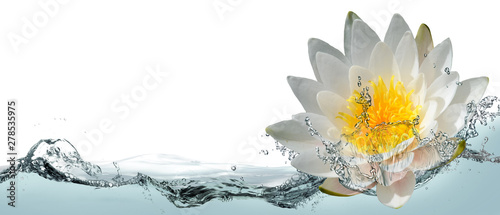 Garden Poster Lotus flower Blooming lotus flower in water