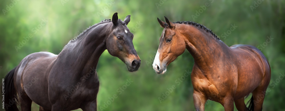 Fototapeta Two Horse close up portrait in motion against green background