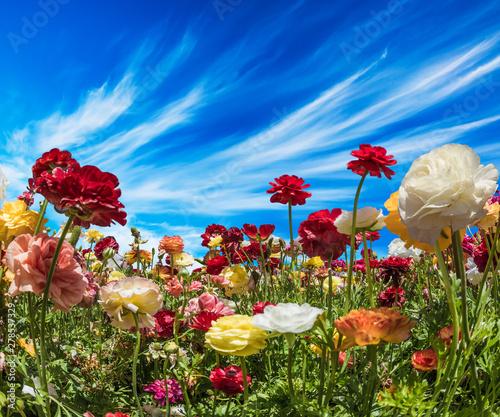 Obraz na plátně Picturesque large buttercups