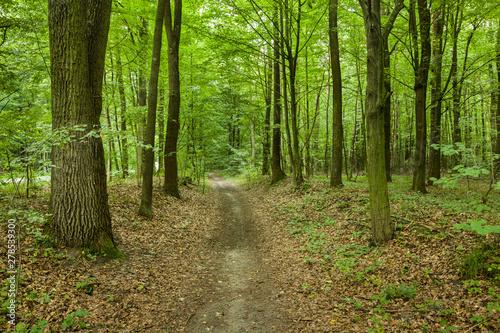 Foto auf Leinwand Straße im Wald A beaten path through a green forest with fallen leaves