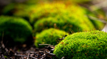 Closeup Of Fresh Green Moss With Spores In Sunlight, Selective Focus. Beautiful Natural Background Moss, Bokeh.