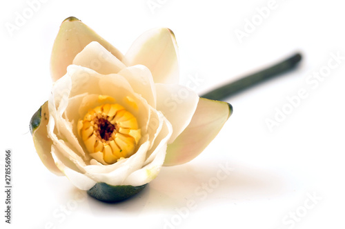 Poster de jardin Nénuphars Tender water lily isolated on white background
