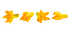 Row Of Blooming Yellow Orange Pumpkin Flowers Without Leaves And Stem Isolated On White Background. Food Ingredient For Traditional Mediterranean Cuisine. Group Of Objects For Design