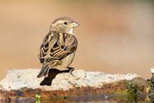 Female House Sparrow Perched On A Rock At The Edge Of A Stream. Spain