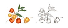 Bundle Of Elegant Colorful And Monochrome Drawings Of Physalis, Cape Gooseberry Or Goldenberry. Fresh Berries, Superfood, Veggie Product Hand Drawn On White Background. Realistic Vector Illustration.