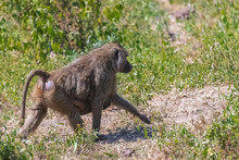 Baboons In The Forest In Tanza...