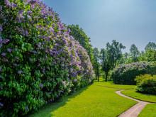 Large Lilac (Syringa Vulgaris) Hedges Blooming In The Park, Herttoniemi Park In Helsinki