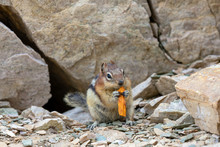 Adorable Chipmunk Standing Bet...