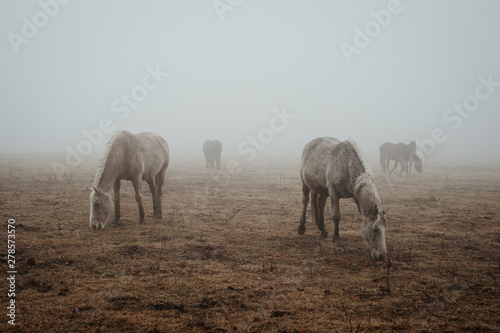 Horses grazin in mist - 278573570