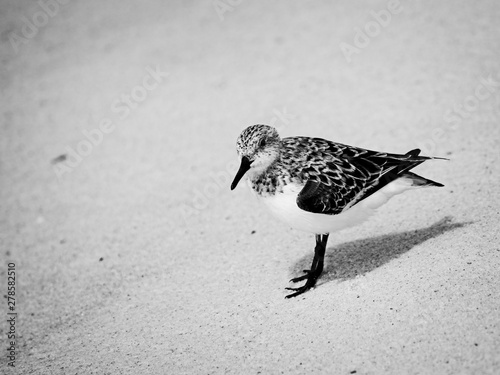 Shorebirds in Gulf Shores AL B&W Wallpaper Mural