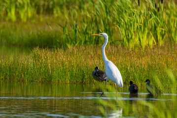 FototapetaA white heron stands in the pond amid reeds.