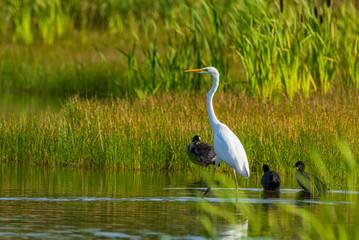 Panel Szklany Podświetlane Zwierzęta A white heron stands in the pond amid reeds.
