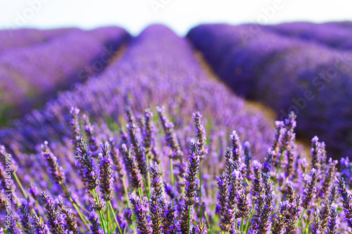 Foto auf AluDibond Aubergine lila Lavender blooming field