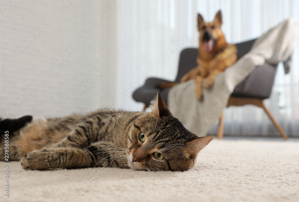 Fototapety, obrazy: Tabby cat on floor and dog on sofa in living room