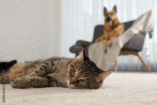Tabby cat on floor and dog on sofa in living room - 278588585