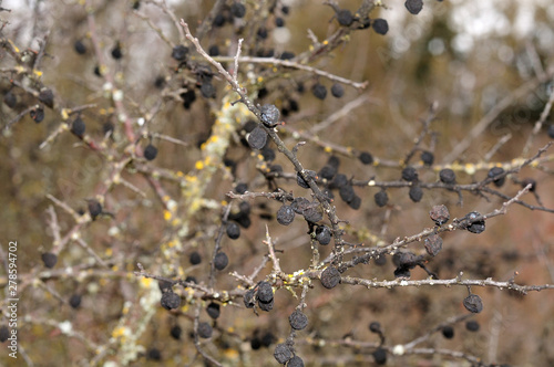 Photo  twig of a sloe bush with shriveled fruits