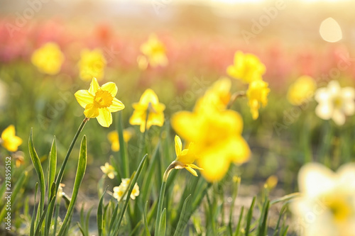 Field with fresh beautiful narcissus flowers on sunny day