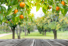 Wood Table Top With Orange Trees With Fruits In Sun Light. For Montage Product Display Or Design Key Visual Layout