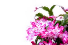Pink Schlumbergera Flower Spri...