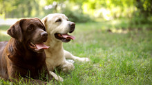 Cute Labrador Retriever Dogs O...