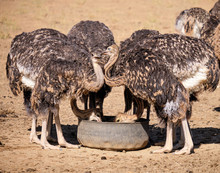 Juvenile Ostriches Eating From...